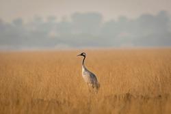 Demoiselle crane or Grus virgo in open grassland or field during winter migration at Tal Chappar sanctuary rajastan India