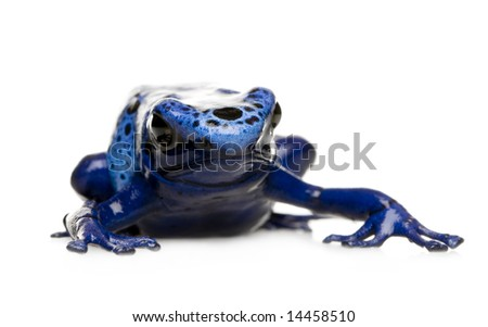 Dendrobates azureus in front of a white background