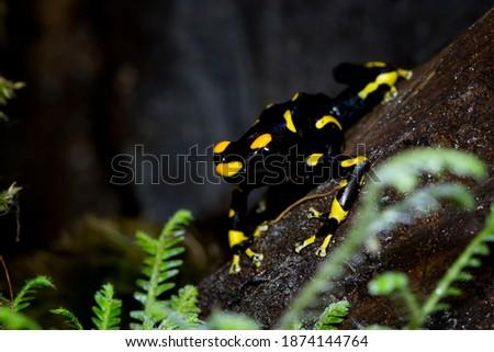 Dendrobates tinctorius 'Alanis' dart frog on wood, Dendrobates tinctorius 'Alanis' dart frog closeup Stock foto ©