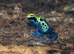 Dendrobates tinctorius, dyeing poison-arrow frog close up
