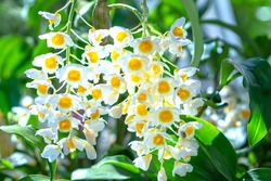 Dendrobium Aphyllum orchids flowers bloom in spring adorn the beauty of nature, a rare wild orchid decorated in tropical gardens