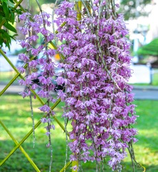 Dendrobium Aphyllum orchids flowers bloom in spring lunar new year 2021 adorn the beauty of nature, a rare wild orchid decorated in tropical gardens