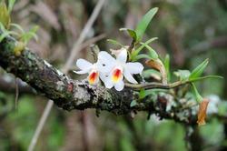 dendrobium christyanum  Wild orchid in Thailand