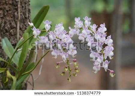 Dendrobium nobile or Dendrobium Orchid, Olho de Boneca