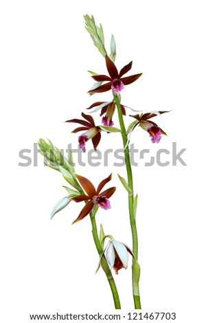 Dendrobium orchids Prao (Phaius tankervilleae)  isolated on white background