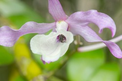Dendrobium primulinum is wild orchid  pink and white flower, bee  suck nectar in flower
