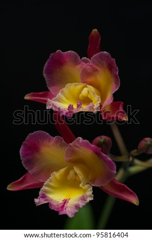 Dendrobium type orchid isolated on black background