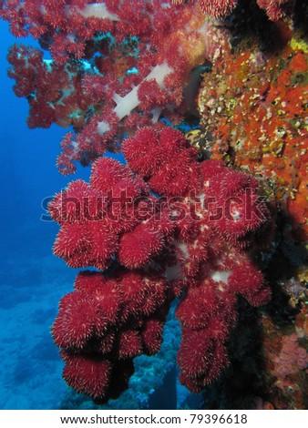 Dendronephthya hemprichi soft coral
