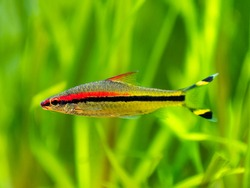 Denison barb (Sahyadria denisonii) swimming on a fish tank with blurred background