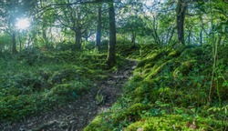 Dense and green forest in Killarney National Park in Ireland