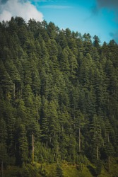 Dense beautiful green pine tree forest in Himachal Pradesh , India.
