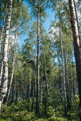 Dense birch forest with rare trees - slender white trunks rise high to the sky - continental nature