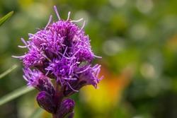 Dense Blazing Star - purple flower - liatris spicata