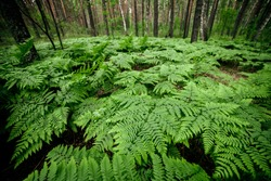 Dense fern thickets close-up. Beautiful nature background with many ferns in scenic forest. Rich greenery among trees. Chaotic wild ferns in forest thicket. Vivid green texture of lush fern leaves.