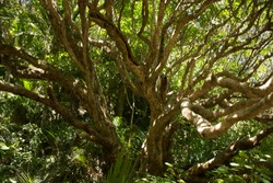 Dense forest in New Zealand with ancient trees