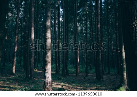 Dense forest. Misty autumnal coniferous forest at sunrise with old spruces and pines. Fir and pine trees in wild forest, lit by sunlight. Sustainable ecosystem and healthy environment concepts.