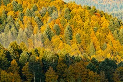 Dense forest of mixed evergreen and deciduous trees with green and yellow foliage of autumn