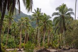 Dense palm trees in a tropical island jungle