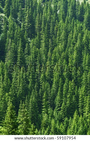 Dense pine trees forest texture