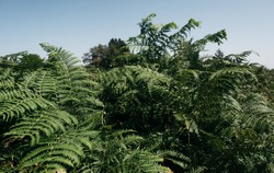 Dense thickets of ferns in the forest. Wild forest green densely growing plant. Green bushes and a bright blue sky.