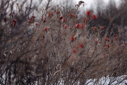 Dense thickets of rosehip in winter, bare thin branches, the remaining bright red berries, natural food for birds. Selective focus