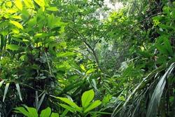 Dense vegetation in tropical rainforest; Semuliki National Park (Uganda-Congo border)
