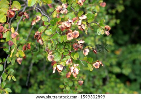 Densely growing Jerusalem thorn or Paliurus spina christi or Garland thorn or Christs thorn or Crown of thorns deciduous shrub plants with ripe fruits in shape of small dry woody circular discs