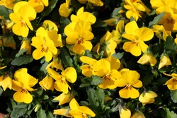 Densely planted bunch of yellow Wild pansy or Viola tricolor or Johnny jump up or Heartsease or Hearts ease or Hearts delight or Tickle my fancy or Jack jump up and kiss me or Come and cuddle me