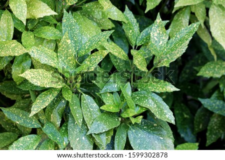 Densely planted Japanese laurel or Aucuba japonica or Spotted laurel or Gold dust plant or Japanese aucuba dioecious dense upright rounded evergreen shrub plant with lush foliage of leathery opposite