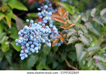 Densely planted Oregon grape or Mahonia aquifolium evergreen shrub flowering plant with dense cluster of dusty blue berries and pinnate leaves made up of spiny leathery leaflets growing in local home