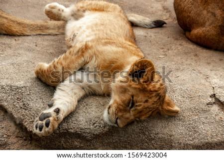 Denver, CO - November 3 2019: Tatu, the Denver Zoo's newest lion cub #1569423004