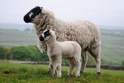 Derbyshire Gritstone Ewe and Lamb