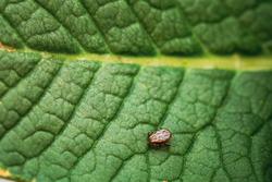 Dermacentor Reticulatus On Green Leaf. Also Known As The Ornate Cow Tick, Ornate Dog Tick, Meadow Tick, And Marsh Tick. Family Ixodidae. Ticks Are Carriers Of Dangerous Diseases.