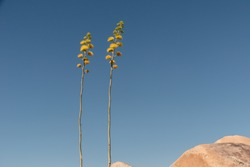 Desert Agave or Century Plant, Agave deserti plant with a blue sky background and desert landscape