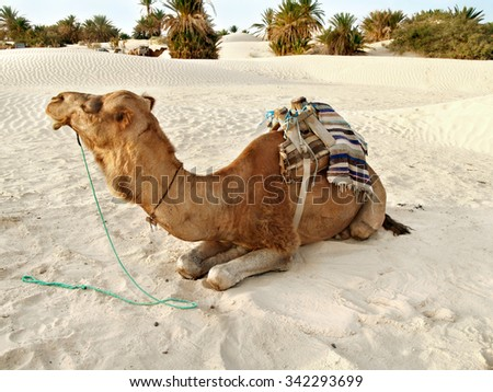 desert animal . camel is a beast of burden used by african nomadic Bedouin tribe  for transportation since ancient times
