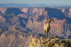 Desert Big Horn Ram Sheep at Grand Canyon National Park Arizona