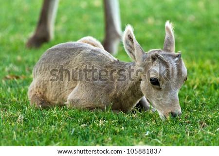 Desert Big Horn Sheep Baby Lamb Laying Down Eating Grass