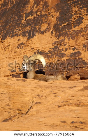 Desert Bighorn Sheep at Valley of Fire, Nevada State Park (Ovis canadensis nelson)