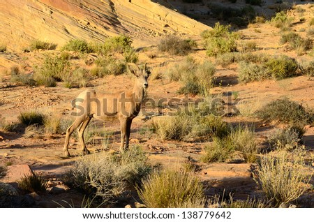 Desert Bighorn Sheep, Ovis canadensis, ewe in the Valley of Fire State Park near Las Vegas Nevada