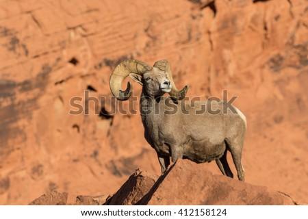 Desert Bighorn Sheep Ram #412158124