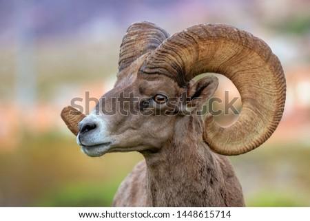 desert bighorn sheep ram looking into distance  #1448615714