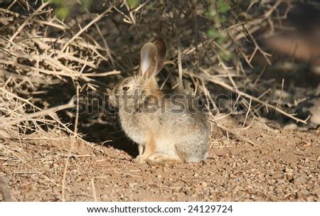 stock photo : Desert Cotton Tailed Rabbit