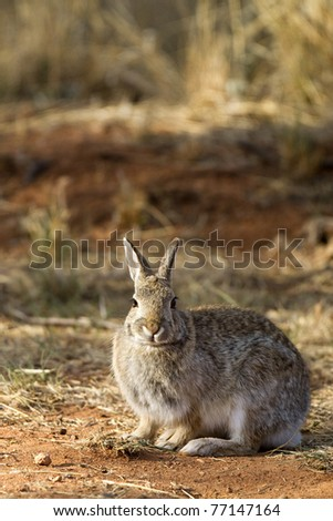 Desert Cottontail Rabbit in Palo Duro Canyon State Park in Texas
