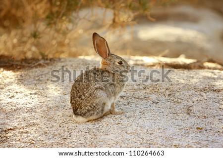 Desert Cottontail Rabbit (Sylvilagus audubonii) in Joshua Tree National Park, California, USA