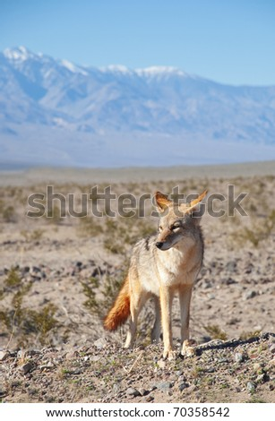 Desert Coyote on the hunt in Death Valley, California.