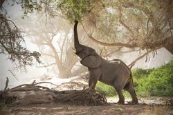 Desert Elephant in the dry Huab River, Namibia
