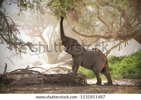 Desert Elephant in the dry Huab River, Namibia Stock fotó ©