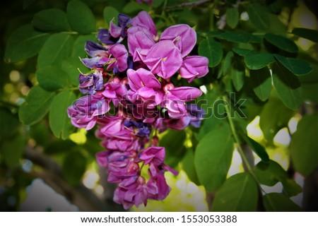 Desert flora and fauna, Ocatilla cacti, hibiscus. #1553053388
