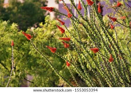 Desert flora and fauna, Ocatilla cacti, hibiscus. #1553053394