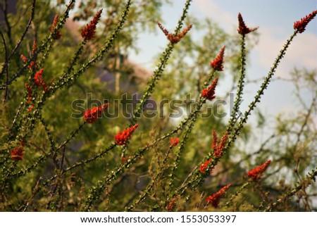 Desert flora and fauna, Ocatilla cacti, hibiscus. #1553053397